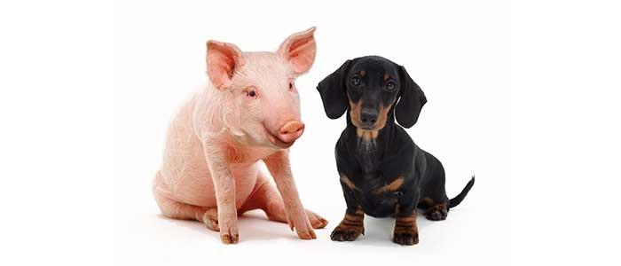 Чем кормить щенка? Или о натуральном кормлении