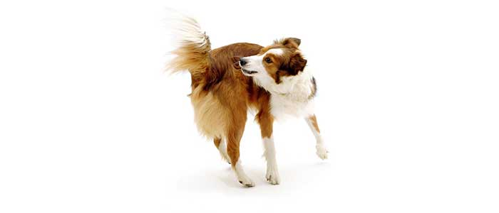 Блохи у щенка или собаки, как их вывести.