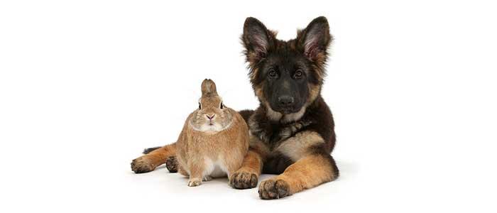 Уход за немецкой овчаркой щенком
